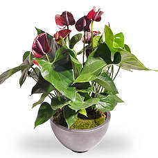 Anthurium Red in a pot