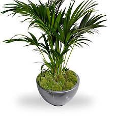 Kentia palm 125 cm