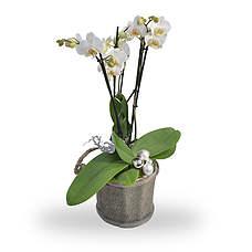 Kerst Phaleanopsis wit