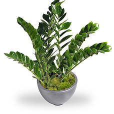 Zamioculcas in pot