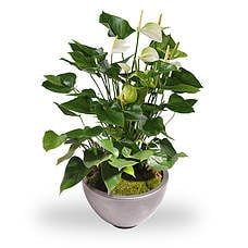 Anthurium white in a pot
