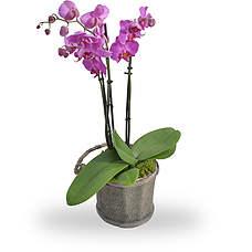 Orchidee roze